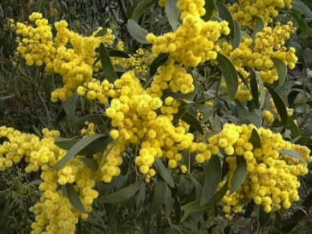 Chuyện kể về các loài hoa biểu tượng của nước Úc
